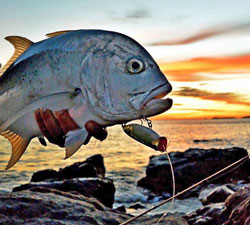 Surface Poppers for Trevally, Salmon, Tailor, GT's through to Bass and Bream and any fish that feeds off the surface